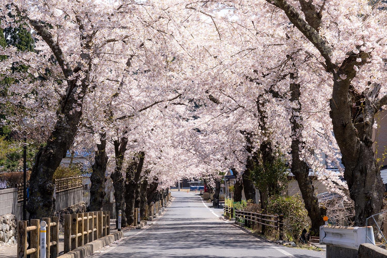 本郷桜並木